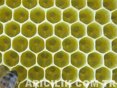 arı yumurtası