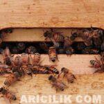Arıların Kavanoza Bal Yapması 19