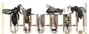 ana arı üretimi nasıl yapılır 4