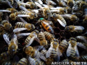 ana arı -1