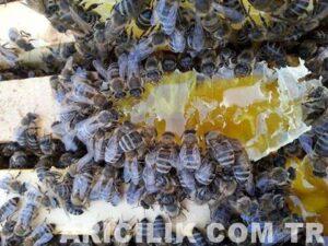arı cinsi