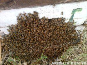 arı oğulu çıkartmamak