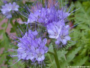 arı otu