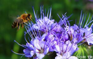 arı otu fazelya 14