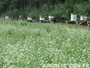 arıcılıkta karabuğday