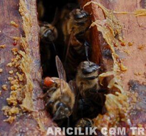 arıların propolis taşıması