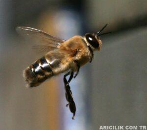erkek arı 1
