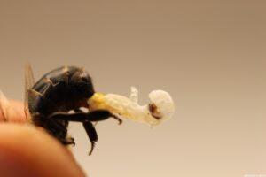 erkek arı spermi