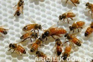 genç ana arı