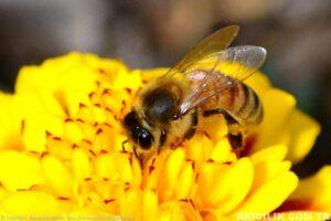 işçi arı 2