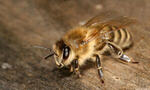 işçi arı 3