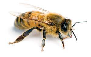 işçi arı