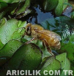 işçi arıların su taşıması