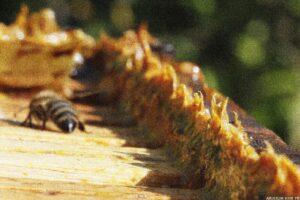 propolis nedir ve faydaları nelerdir 1