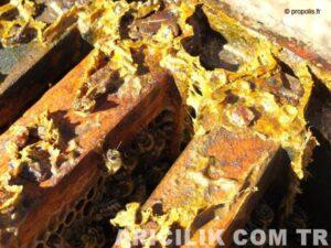 propolis nedir ve faydaları nelerdir 4