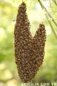 arı oğulu nasıl engellenir 2
