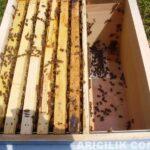 arı nasıl bölünür 6