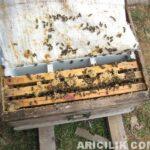 arı nasıl bölünür 7