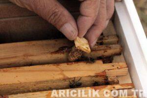 arı nasıl bölünür ana arı
