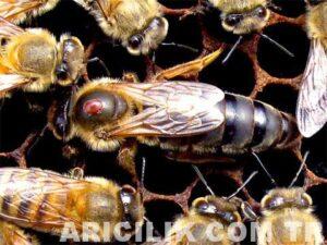 ana arı varroa