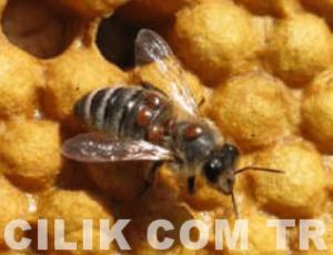 varroa hastalığı nasıl bulaşır