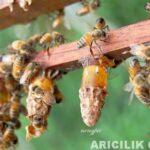 arı sütünün faydaları 2
