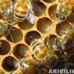 arı sütünün faydaları 4