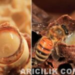 arı sütünün faydaları 7