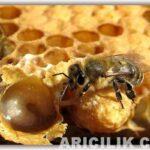 arı sütünün faydaları 9
