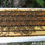 satılık arı 8