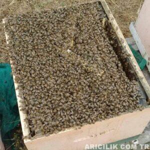 satılık arı ilanları