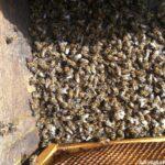 arıların zehirlenmesi 5