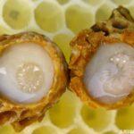 arı sütü nasıl üretilir 3