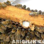 arı sütü nasıl üretilir 4