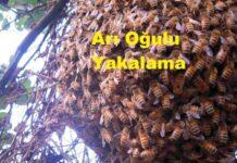 arı oğulu yakalama