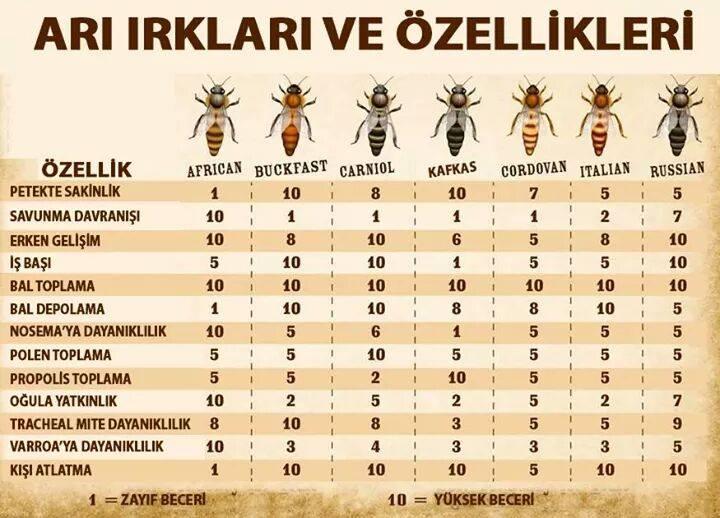 arı ırkı ve özellikleri 1