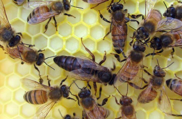 esmer arı ırkı ve özellikleri