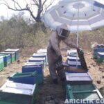 Arıları Şemsiye İle Güneşten Koruma
