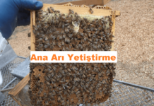 ana arı yetiştirme
