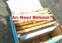 arı nasıl bölünür
