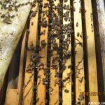 Arı Nasıl Bölünür?