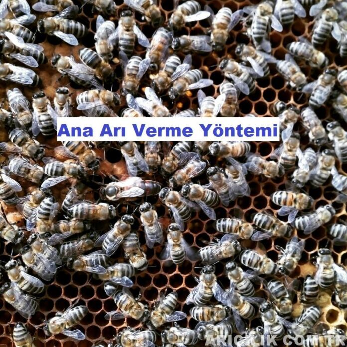Ana Arı Verme Yöntemi