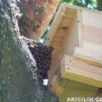 Sahipsiz Arıları Kovana Alma