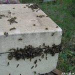 Arılarda Yağmacılık