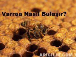 Varroa Nasıl Bulaşır?