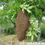 Arı Oğulu Resimleri