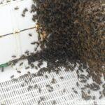 Arının En Büyük Düşmanı İnsan