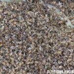 Arıların Zehirlenmesi