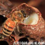 Arı Sütü Nasıl Üretilir