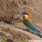 Arı Kuşları İle Mücadele